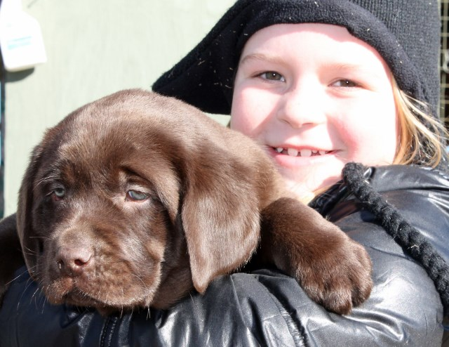 chocolate lab puppies for sale - Damascus Way Labradors