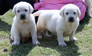 white labs for sale in Georgia - Damascus Way Labradors