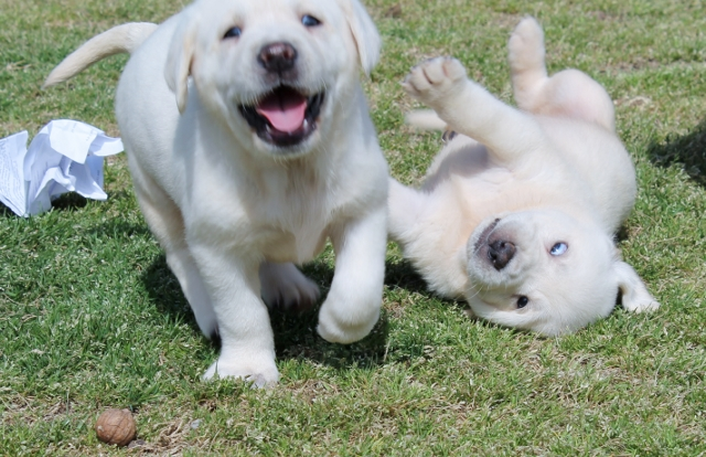 White lab puppies for sale - Damascus Way Labradors